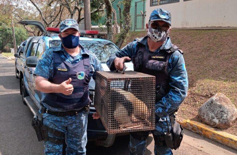 Tamanduá-mirim é resgatado pela GCM com as patas queimadas